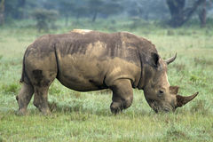 Rhino. Near Lake Nakuru, Central Kenya royalty free stock image