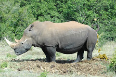 Rhino. White Rhinoceros - Witrenoster - Rhino (Ceratotherium simum) standing next to a water hole in a game park in South Africa Stock Photos