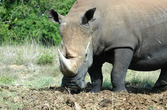 Rhino. White Rhinoceros - Witrenoster - Rhino (Ceratotherium simum) standing next to a water hole in a game park in South Africa Royalty Free Stock Photos