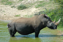 Rhino. White Rhinoceros - Witrenoster - Rhino bull (Ceratotherium simum) standing in a water hole in a game park in South Africa Royalty Free Stock Photo