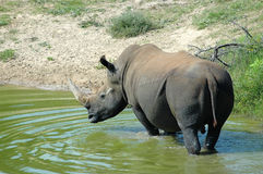 Rhino. White Rhinoceros - Witrenoster - Rhino bull (Ceratotherium simum) standing in a water hole in a game park in South Africa Royalty Free Stock Photos