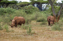 Rhino. A male and female rhino in the wild in Africa Royalty Free Stock Image