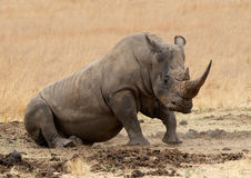 Rhino. Rolling in mud in African game reserve Royalty Free Stock Photography