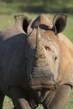Rhino. Close up portrait of a White Rhino royalty free stock photography