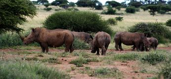 Rhino. Five rhinos eating at water hole Stock Image