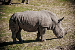 Rhino Stock Photography