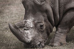 Rhino. Also known as a ceros stock images