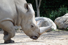 Rhino. Picture of a large horn White Rhino walking Stock Photo