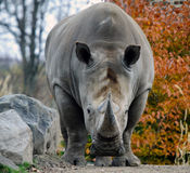 Rhino. Picture of a rhino starring directly at the photographer Royalty Free Stock Image