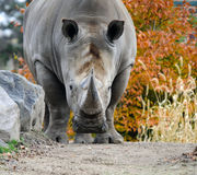 Rhino. Picture of a rhino staring directly at the photographer Royalty Free Stock Image
