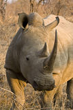Rhino Stock Photos