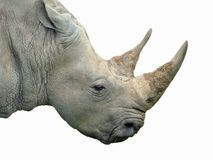 Rhino. A rhinoceros isolated on white stock photo