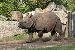 Rhino #2. Rhino from Warsaw Zoological Garden Stock Photography