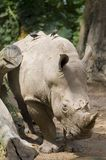 Rhino 2. A muddy white rhino carries two passengers on his back Royalty Free Stock Photography