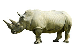Rhino. Gray, male in lateral view, with white background Stock Photo