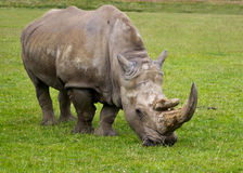 Free Rhino Royalty Free Stock Photo - 20410605