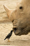 Rhino. A rhinoceros being helped in facial cleaning by a bird Stock Image