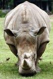 Rhino Royalty Free Stock Photos