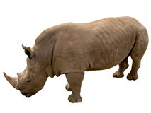 Rhino. White back Royalty Free Stock Photo
