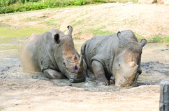 Free Rhino. Royalty Free Stock Photography - 23699147