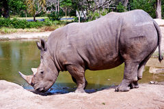 Rhino. In zoo drinking water Royalty Free Stock Images