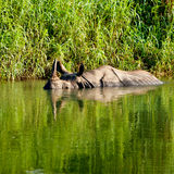 Rhino. Is bathing in river in Chitwan national park stock photo