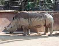 Rhino. In the local zoo royalty free stock images