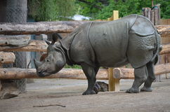 Rhino. From Vienna zoo scratching his horn royalty free stock photo