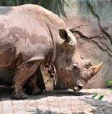 Rhino. One rhinoceros with big head and two front feet Stock Images