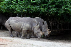 Rhino. Pair of white rhino standing side by side in zoo Royalty Free Stock Image