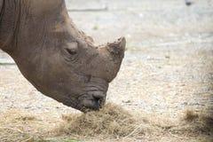 Rhino. Big rhinoceros eating hay as food happily stock images