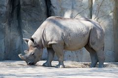 Rhino. Close up of full sized adult African rhino Royalty Free Stock Photography