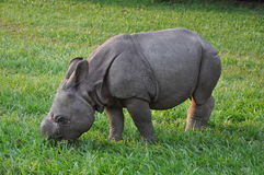 Rhino. A baby Rhino found in Chitwan National Park in Nepal Royalty Free Stock Photo