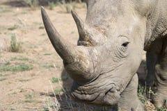 Rhino. Wild rhino in desert in Africa Royalty Free Stock Image