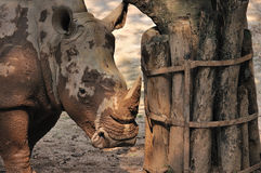 Rhino Stock Image