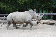 Rhino. Big Rhino running at paddock Royalty Free Stock Photo