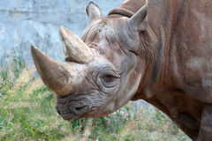 Rhino. Close up of full sized adult rhino Royalty Free Stock Photo