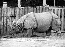 Rhino 3 Royalty Free Stock Photo