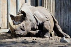 Free Rhino Stock Photography - 30260132