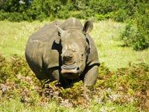 Rhino1 στοκ φωτογραφίες