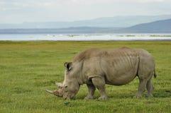 Free Rhino Royalty Free Stock Photography - 37007747