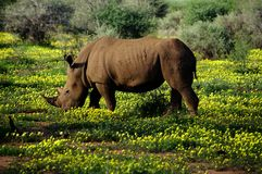Rhino Royalty Free Stock Images