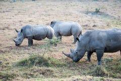 Free Rhino Royalty Free Stock Image - 39251256