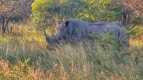 rhino Foto de Stock Royalty Free