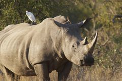 Rhino. With bird on bag royalty free stock image