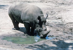 Rhino. A Rhino drinking water from a puddle Royalty Free Stock Image