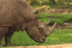 Rhino. The giant on move, the Rhino was moving in the meadow Royalty Free Stock Photo
