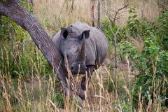 rhino Stockbild