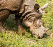 rhino fotografie stock