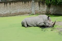 rhino Imagens de Stock